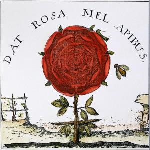 Die Rose gibt den Bienen Honig